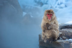 Now monkey Macaque Onsen Stock Images