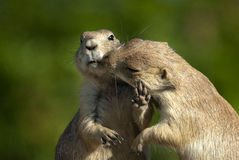 Now that's enough of that!. One prairie dog trying to kiss an other but gets pushed away stock photos