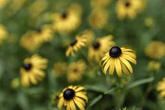 The now standing out. Black eyed susan`s isolated with a shallow depth of field in a flower patch Royalty Free Stock Images