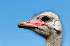 Now thats a close up of an Ostrich Stock Images