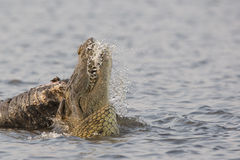 Now thats a mouthful. An African Crocodile feeding on elephant carcass in the Choebe river Royalty Free Stock Image