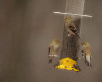 And Now There Are Three--American Goldfinches Feeding in the Rain Royalty Free Stock Images