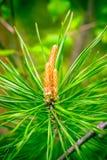 Nowa świeża sosna rożka flanca na gałąź Wschodnia sosna, naturalny lasowy tło Makro- z płycizną dof Zdjęcie Royalty Free