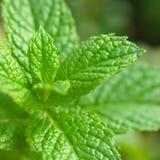 Nowa roślina - herbata i ziele Zdjęcia Stock
