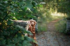 Nowa Scotia kaczka tolling aporteru psi plenerowego Zdjęcia Royalty Free