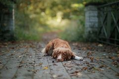Nowa Scotia kaczka tolling aporteru psi plenerowego Obrazy Royalty Free