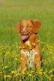 Nowa scotia kaczki aporteru tolling psi obsiadanie w kwiatu polu Fotografia Royalty Free