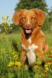 Nowa scotia kaczki aporteru tolling psi obsiadanie w kwiatu polu Obraz Royalty Free