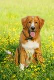 Nowa scotia kaczki aporteru tolling psi obsiadanie w kwiatu polu Obraz Stock