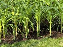 Nowa uprawa lato kukurudza obrazy stock
