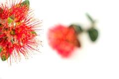 Nowa Zelandia choinka lub pohutukawa jaskrawy czerwony kwiat Obrazy Royalty Free