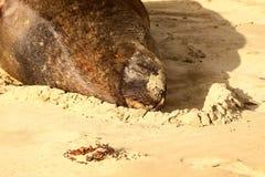 Nowa Zelandia Denny lew, Phocarctos dziwka, rozciąga na piaskowatej plaży, Południowa wyspa Nowa Zelandia Fotografia Stock