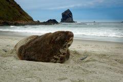 Nowa Zelandia denny lew whakahao lying on the beach na piaskowatej plaży w fala w zatoce w Nowa Zelandia - Phocarctos hookeri - Obraz Stock