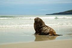 Nowa Zelandia denny lew whakahao lying on the beach na piaskowatej plaży w fala w zatoce w Nowa Zelandia - Phocarctos hookeri - Zdjęcia Stock