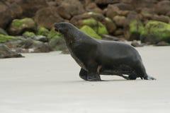 Nowa Zelandia denny lew whakahao lying on the beach na piaskowatej plaży w fala w zatoce w Nowa Zelandia - Phocarctos hookeri - Fotografia Royalty Free