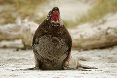 Nowa Zelandia denny lew whakahao lying on the beach na piaskowatej plaży w fala w zatoce w Nowa Zelandia - Phocarctos hookeri - Zdjęcie Royalty Free