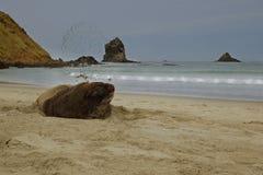 Nowa Zelandia denny lew whakahao lying on the beach na piaskowatej plaży w zatoce w Nowa Zelandia - Phocarctos hookeri - Obraz Stock