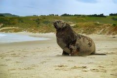 Nowa Zelandia denny lew whakahao lying on the beach na piaskowatej plaży w zatoce w Nowa Zelandia - Phocarctos hookeri - Obrazy Stock