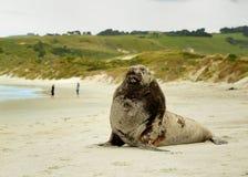 Nowa Zelandia denny lew whakahao lying on the beach na piaskowatej plaży w zatoce w Nowa Zelandia - Phocarctos hookeri - Zdjęcie Royalty Free