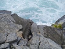 Nowa Zelandia futerkowa foka Zdjęcie Royalty Free