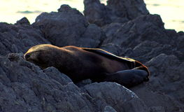 Nowa Zelandia Futerkowa foka Zdjęcia Stock