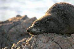 Nowa Zelandia Futerkowa foka Fotografia Royalty Free
