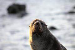 Nowa Zelandia Futerkowa foka Zdjęcie Stock