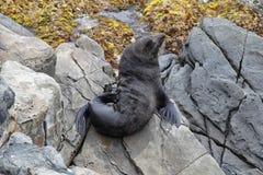Nowa Zelandia Futerkowa foka (Arctocephalus Forsteri) Zdjęcie Royalty Free
