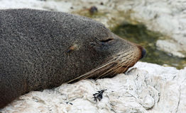 Nowa Zelandia Futerkowa foka blisko Kaikoura (Nowa Zelandia) zdjęcia stock