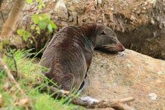 Nowa Zelandia futerkowa foka odpoczywa na skałach zdjęcia royalty free
