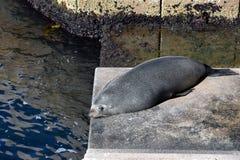 Nowa Zelandia futerkowa foka śpi na krokach Sydney opera Zdjęcia Royalty Free