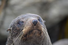 Nowa Zelandia Futerkowa foka w Kaikoura Zdjęcia Royalty Free