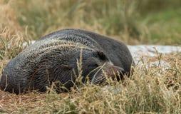 Nowa Zelandia futerkowej foki Arctocephalus forsteri przy Dunedin foki kolonią, Nowa Zelandia Zdjęcie Stock