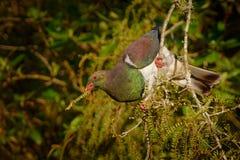 Nowa Zelandia gołąb kereru karmienie w drzewie w Nowa Zelandia i obsiadanie - Hemiphaga novaeseelandiae - Fotografia Stock