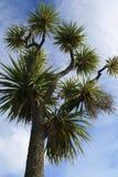 Nowa Zelandia Kapusty Drzewo Fotografia Stock