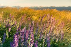 Nowa Zelandia kwiatu pełnego kwiatu purpurowy łubinowy warunek podczas lato sezonu Zdjęcie Stock