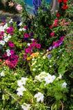 Nowa Zelandia kwitnie w lecie Zdjęcia Stock
