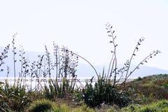 Nowa Zelandia len w kwiacie Fotografia Royalty Free