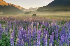 Nowa Zelandia lupine kwiatu pole z halnym tłem Obraz Stock