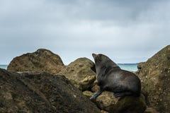 Nowa Zelandia Nowa Zelandia Futerkowa foka Fotografia Royalty Free