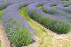 Nowa Zelandia pełnego kwiatu warunku purpur Lawendowy colour Obrazy Royalty Free
