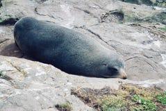 Nowa Zelandia rodzimy denny lew wygrzewa się na skałach fotografia royalty free