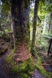 Nowa Zelandia tropikalny las deszczowy Nowa Zelandia d Y Obrazy Stock