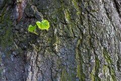 Nowa zieleń opuszcza urodzony na starym drzewie, textured tło Nowa życie metafora Obrazy Stock
