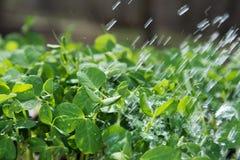Nowe grochowe rośliny Zdjęcia Stock