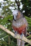 nowe Zelandii papuzi kaka Obrazy Royalty Free