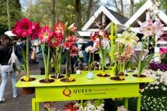 Nowi hiacyntowi gatunki przy kwiatu jarmarkiem Zdjęcia Stock