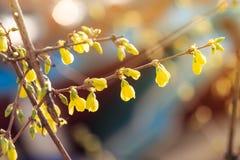 Nowi krótkopędy wiosna Zdjęcie Royalty Free