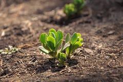 Nowi krótkopędy wiosna Obraz Royalty Free