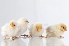 Nowi lągów kurczaki stoi na glass.GN Obrazy Royalty Free